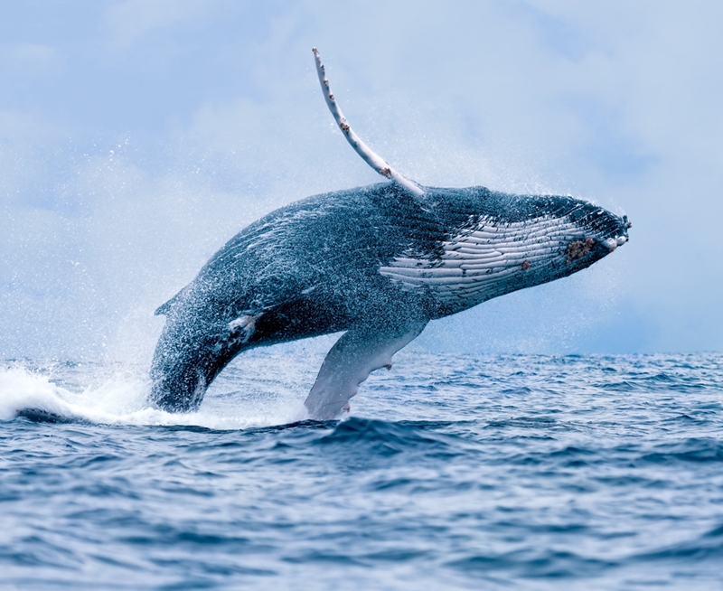 The humpback whale migrates north in search of warmer waters.